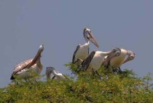कोकरे बेलूर, कर्नाटक 9