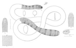 पेरोन का समुद्री सांप Peron's sea snake.