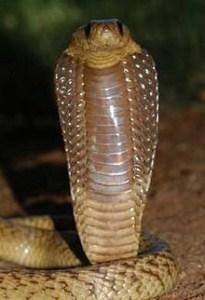 केप कोबरा (नाज़ा नीविया) Cape cobra