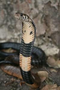 वन कोबरा Forest cobra