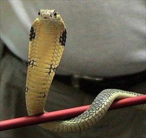 King cobra King cobra