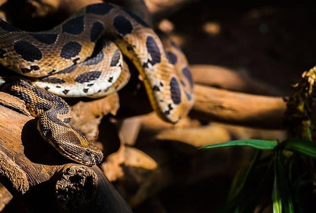 दबौया सांप Russell's viper