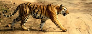 बांधवगढ़ राष्ट्रीय उद्यान Bandhavgarh National Park