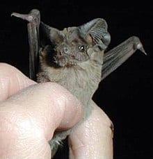 मैक्सिकन फ्री- टेल्ड बैट Mexican free-tailed bat