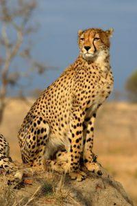 चीता Cheetah