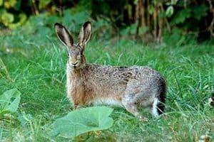 खरहा Hare