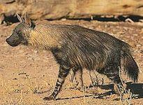 लकड़बग्घा Hyena