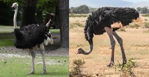 शुतुरमुर्ग Ostrich