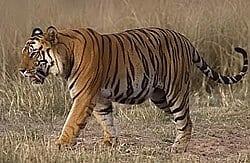 बाघ Tiger